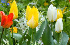 Beautiful varicolored tulips. Nature background. Royalty Free Stock Image