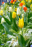Beautiful varicolored tulips. Nature background. Stock Image