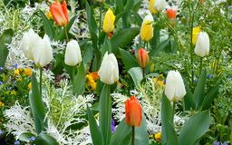 Beautiful varicolored tulips. Nature background. Stock Photography