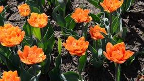 Beautiful varietal tulips on  flowerbed. Beautiful varietal tulips on the flowerbed stock video footage