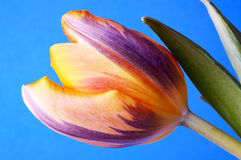Beautiful variety of a Dutch tulip Royalty Free Stock Photos