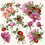 Beautiful vector collection of realistic rose flowers with berri Stock Photography