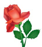 Beautiful vector rose Royalty Free Stock Images