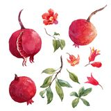 Pomegranate fruit vector set. Beautiful vector set with nice hand drawn watercolor pomegranate fruit on transparent background stock illustration