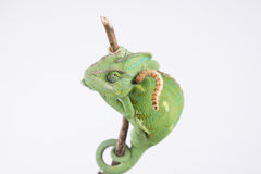 Beautiful veiled chameleon in studio with larva (white background). Beautiful funny female chameleon with white background larva food amazing capture royalty free stock image
