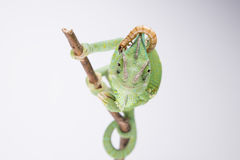 Beautiful veiled chameleon in studio with larva (white background). Beautiful funny female chameleon with white background with larva on the head royalty free stock image