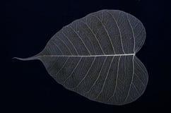 Beautiful vein details of banyan leaf Stock Photos