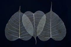 Beautiful veins of banyan leaves Royalty Free Stock Images