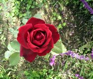 Beautiful velvety red rose and violet salvias freshly bloomed in the spring garden. Beautiful velvety red rose freshly bloomed whit violet salvias,in the spring Stock Images