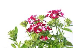Beautiful verbena close up background Stock Photo