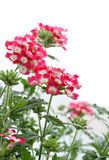 Beautiful verbena flowers on white Royalty Free Stock Image