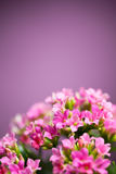 Beautiful Verbena hybrida flowers Royalty Free Stock Photo