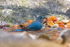 Beautiful Verditer Flycatcher bird in blue playing soaking body Stock Images