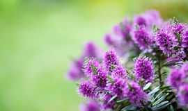 Beautiful veronica flowers Stock Image