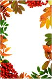 Beautiful vertical autumn frame made from colorful leaves and rowan berries Stock Photography
