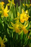Beautiful Vertical shot of a flowerbed of Daffodils in the spring Royalty Free Stock Photography