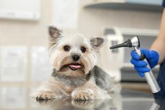 Beautiful vet doctor examines a small cute dog breed Yorkshire Terrier with the help of an otoscope in a veterinary clinic..Happy. Beautiful vet doctor examines royalty free stock images