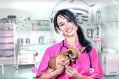 A beautiful veterinarian with a chihuahua Royalty Free Stock Photography