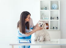 Beautiful veterinarian doctor examining cute dog in clinic. Beautiful veterinarian doctor examining cute white dog in clinic Royalty Free Stock Image