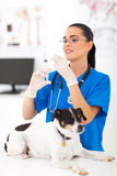 Veterinary assistant inject Stock Photography