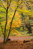 Beautiful vibrant Autumn Fall colors in forest landscape Royalty Free Stock Images