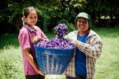 Beautiful vibrant Butterfly pea flower basket in Asian farmers hands