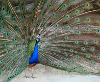 Beautiful vibrant colors Peacock, Indian peafowl, Blue peafowl, Pavo cristatus. Stock Photos