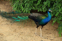 Beautiful vibrant colors Peacock, Indian peafowl, Blue peafowl, Pavo cristatus. Royalty Free Stock Images