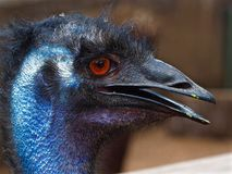 Lively Animated Emu with a Strong Intense Gaze. A beautiful vibrant colourful emu in closeup with a open beak that appears to be smiling Royalty Free Stock Images