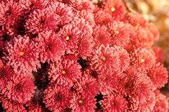 Beautiful vibrant coral chrysanthemum flowers carpet background with sunflare at bright autumn sunset evening.  stock images