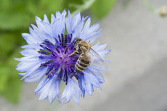 Beautiful Vibrant Cornflower With Bee Royalty Free Stock Images