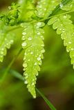 Beautiful, vibrant fern leaves on a natural background in a forest after the rain. Royalty Free Stock Photography