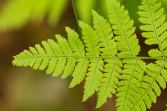 Beautiful, vibrant fern leaves on a natural background in a forest after the rain. Stock Images