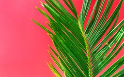 Beautiful vibrant green palm tree leaf on fuchsia pink wall background with sunlight leaks. Urban jungle summer tropical vacation stock images