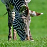 Beautiful vibrant intimate close up portrait of Chapman`s Zebra Royalty Free Stock Photography