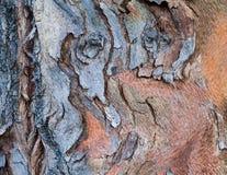 Beautiful Vibrant Multi-colored Bark of Australian Eucalyptus Tr Royalty Free Stock Photo