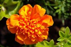 Orange dahlia. Beautiful vibrant orange dahlia flower Stock Photography