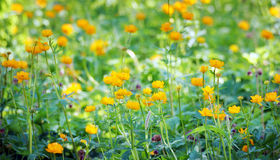 Beautiful vibrant orange flowers on the meadow Royalty Free Stock Image