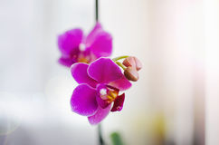 Beautiful Vibrant Orchids Royalty Free Stock Photo