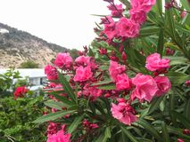 Nerium oleander plant with pink flowers. Beautiful vibrant pink oleander Nerium flowers with green leaves on healthy plant in Cala Llonga garden, Ibiza, Spain stock image