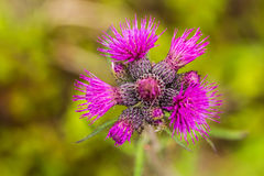 A beautiful vibrant purple thistle flower in a marsh after the rain. Royalty Free Stock Images