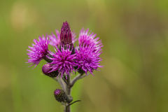 A beautiful vibrant purple thistle flower in a marsh after the rain. Shallow depth of field closeup macro photo Stock Photos