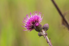 A beautiful vibrant purple thistle flower in a marsh after the rain. Shallow depth of field closeup macro photo Royalty Free Stock Images