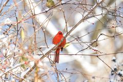 Beautiful vibrant red cardinal perched on winter branches full o. F berries and covered in snow. Winter, holiday and nature concepts Royalty Free Stock Image