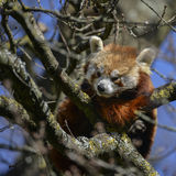 Beautiful vibrant red panda bear in tree trying to sleep ailurus Stock Photo