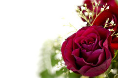 Beautiful vibrant red rose with copy space Stock Image