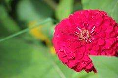 Close up of vibrant red zinnia Stock Photos