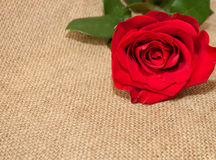 Beautiful and vibrant rose on the rough background Stock Photo