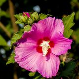 Pink Rose of Sharon Flowers Blooming royalty free stock photography