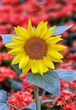 Cheerful tropical sunflower stock image